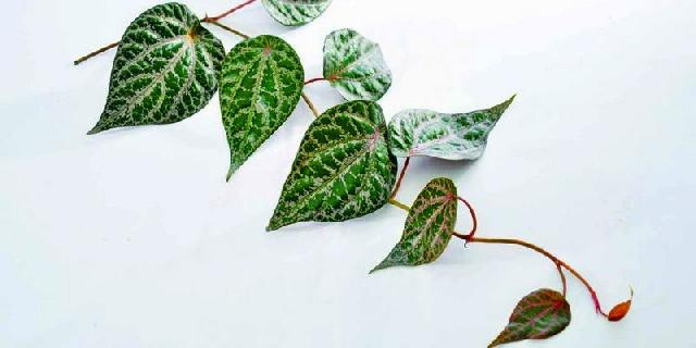 khasiat daun sirih merah untuk diabetes