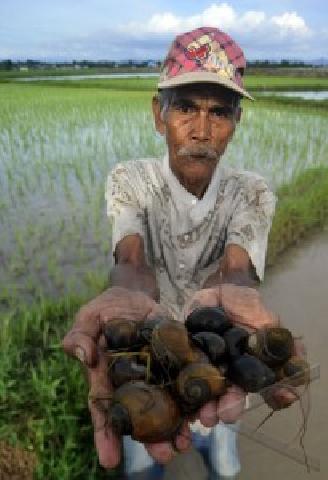 Ratusan Hektar Ladang Padi di Rohil Diserang Hama Keong Emas