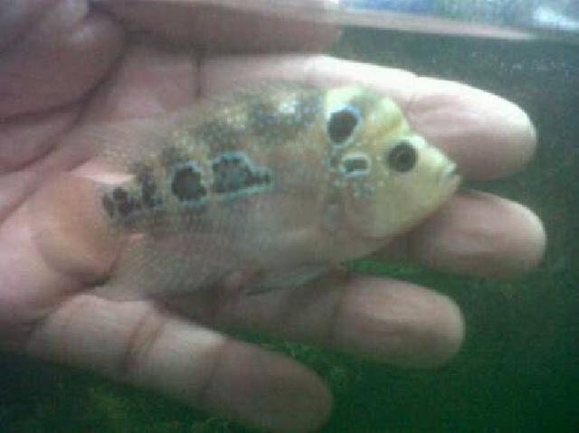 Ingin Ikan Hias Murah, Datanglah ke Kios Fadillah Pematang Rebah Inhu