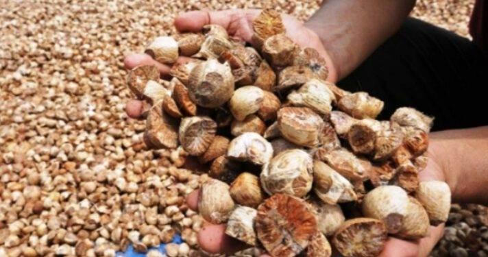 Harga Pinang Kering dan Kelapa Butiran di Riau Stagnan, Dimak Harga Selengkapnya
