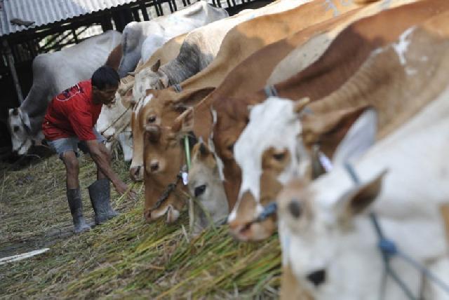 Kualitas Daging Sapi Pemerintah Rp80 ribu/Kg Masih Dipertanyakan