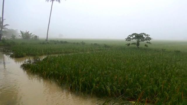 2.000 Hektar Sawah Terendam Banjir, Dampaknya Tidak Signifikan