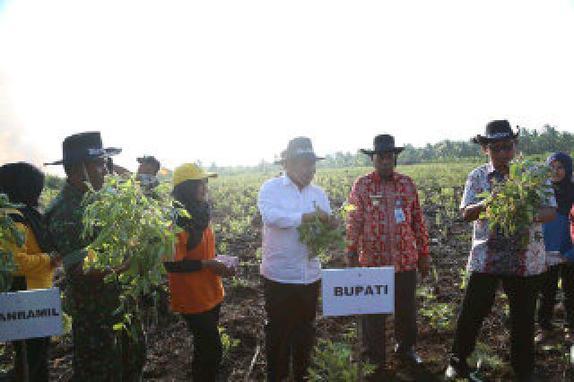 Mantap... Panen Perdana Kacang Kedelai 10 Hektare di Desa Tenggayun Raya