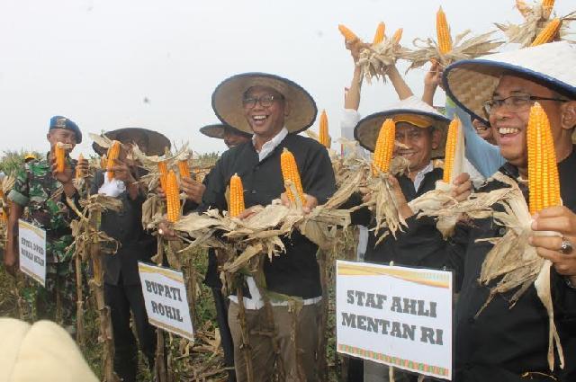 Staf Ahli Kementrian Pertanian RI Dan Bupati Rohil Hadiri Panen Raya Jagung